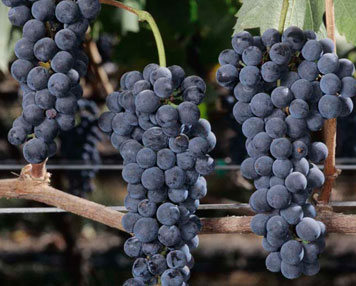 Main_syrah_wine_grapes