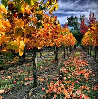 597px-Vineyard_in_Napa_Valley