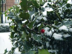 799px-Holly_in_Winter