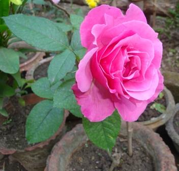 Bandel_Rose1