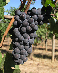 Pinot_noir_grapes