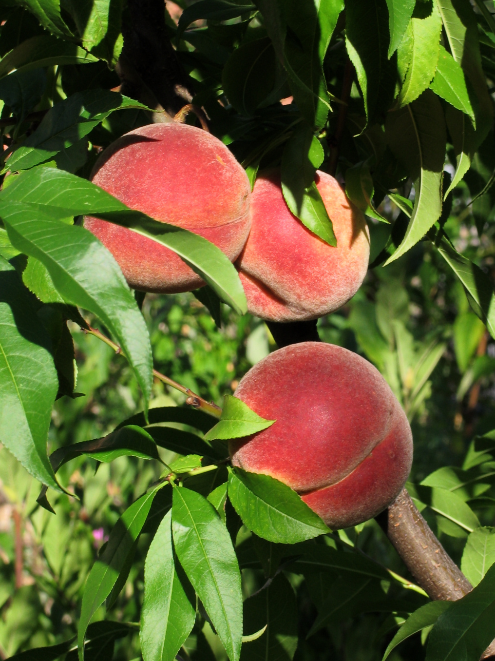 Vineyard_peaches_de