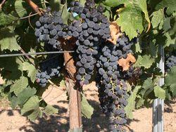 Merlot_Grape1
