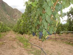 Malbec_grapes_on_the_vine1