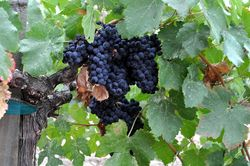 Napa_Valley_grapes_Photo_D_Ramey_Logan_02